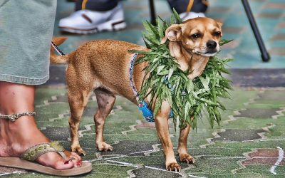 CBD, THC, Marijuana, Cannabis – What Pet Owners Need to Know